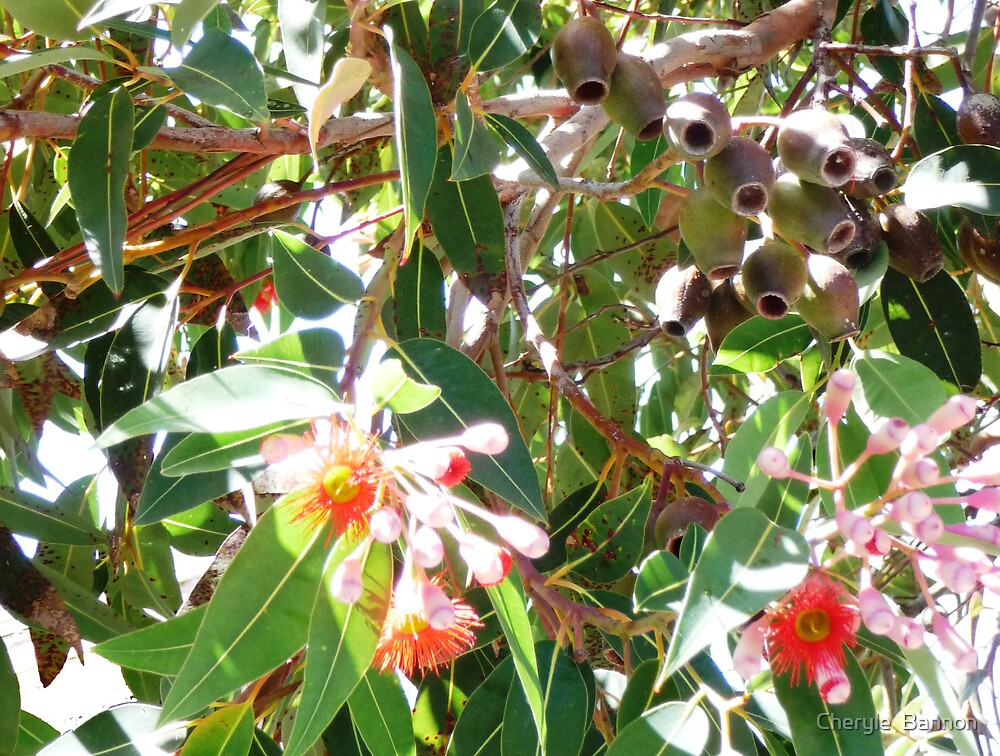 Red gum by Cheryle  Bannon