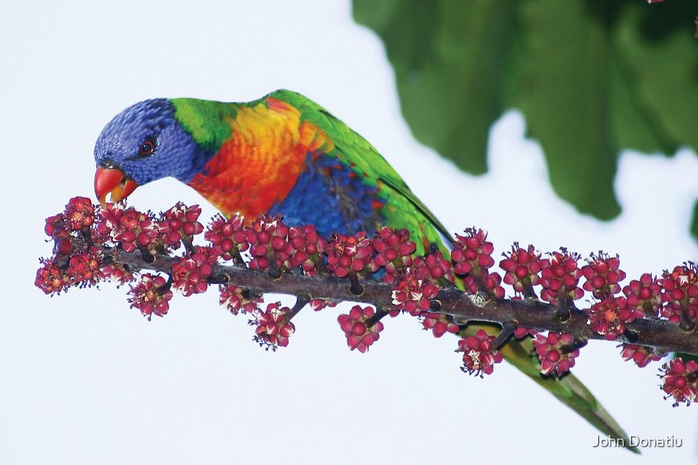 Rainbow Lorikeet by John Donatiu