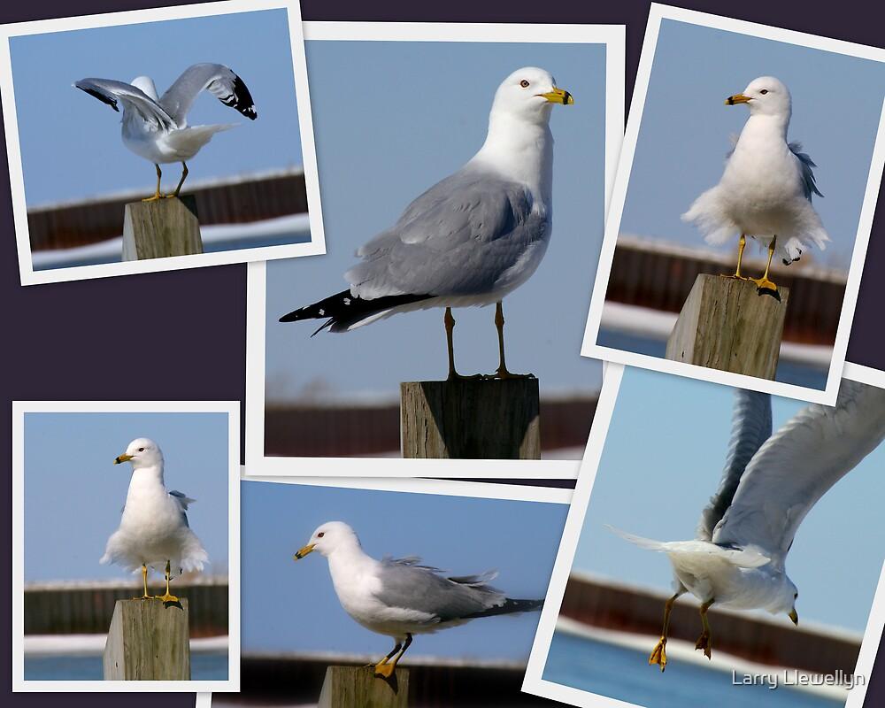 My Winter Gull.... An Ole Salty... by Larry Llewellyn