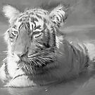 Tiger cub in the water by Pravine Chester