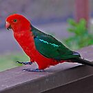 King Parrot by GailD