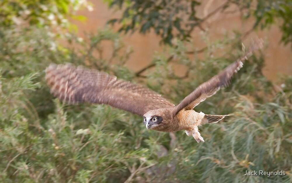 Rufous Owl by Jack Reynolds
