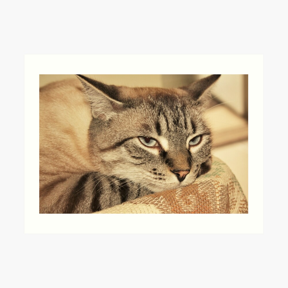 Gato siames Lámina artística