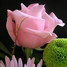 Birthday Rose by FrancesArt