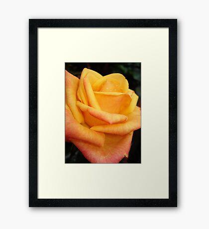 Yellow blushing rose Framed Print