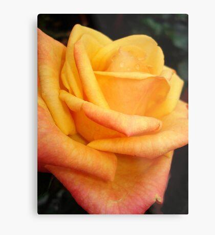 Yellow blushing rose Metal Print