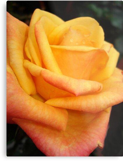 Yellow blushing rose by May Lattanzio