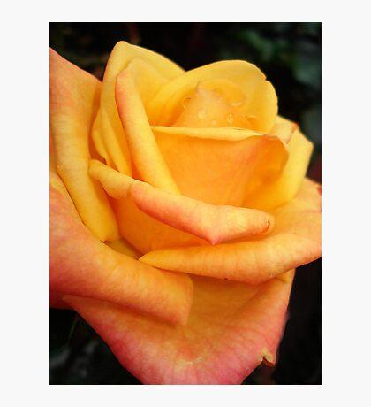 Yellow blushing rose Photographic Print
