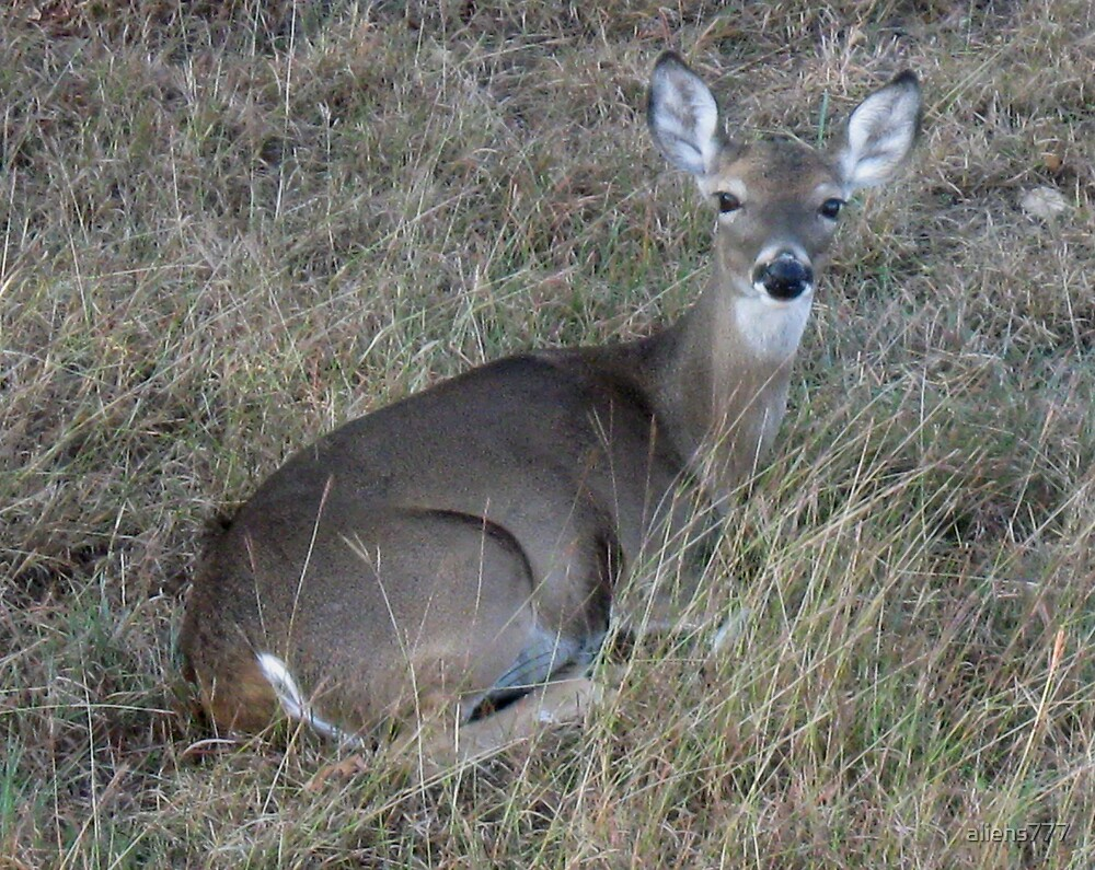 MOTHER DEER RESTING in TEXAS GRASS by aliehs777