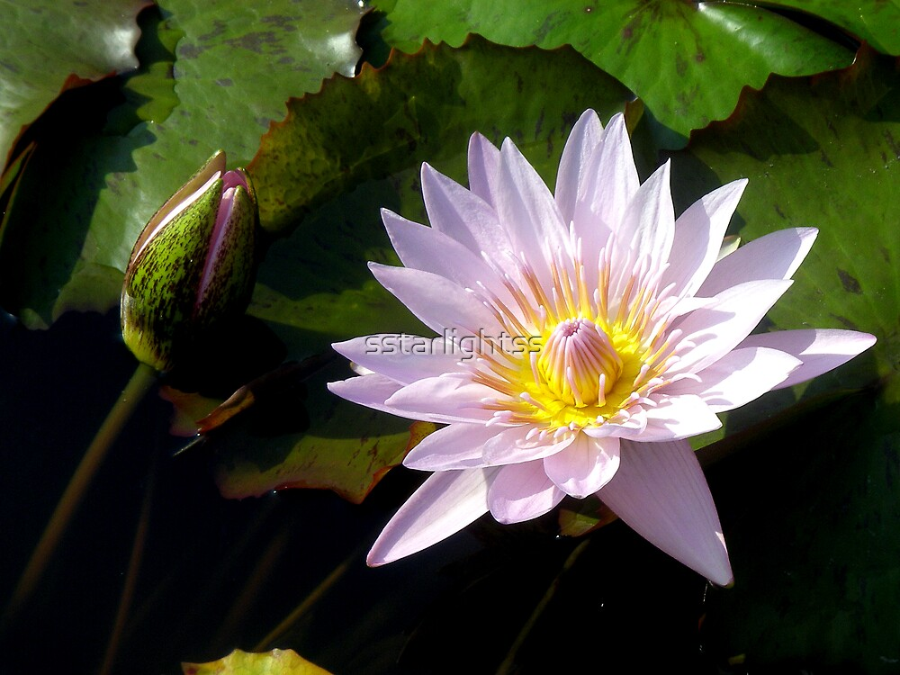 Soft water lily by sstarlightss
