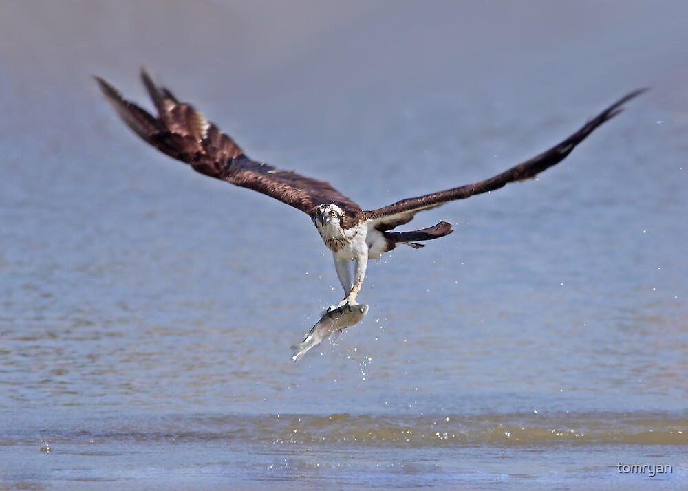 Osprey by tomryan