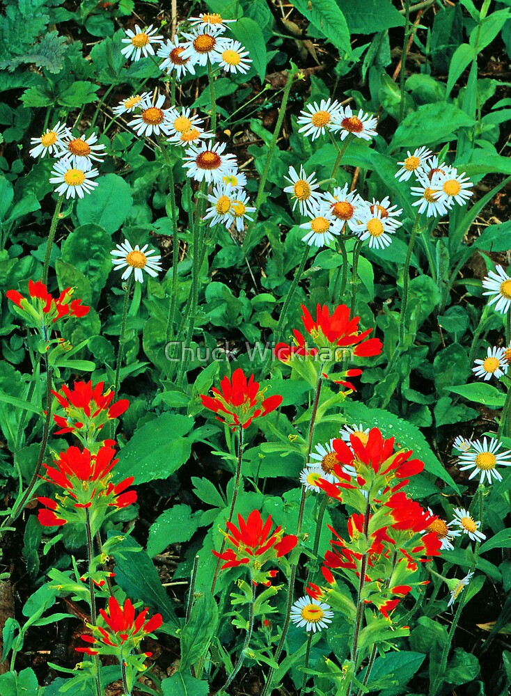 INDIAN PAINTBRUSH AND ASTERS by Chuck Wickham
