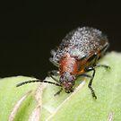 Brown Darkling Beetle by Andrew Trevor-Jones
