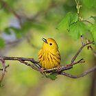 Male Yellow Warbler Looking Up by hummingbirds