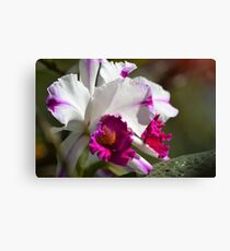 Glorious Cattleya Orchid Canvas Print