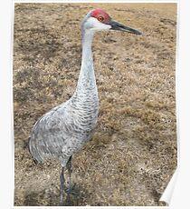 Sand Hill Crane (Hen) Poster