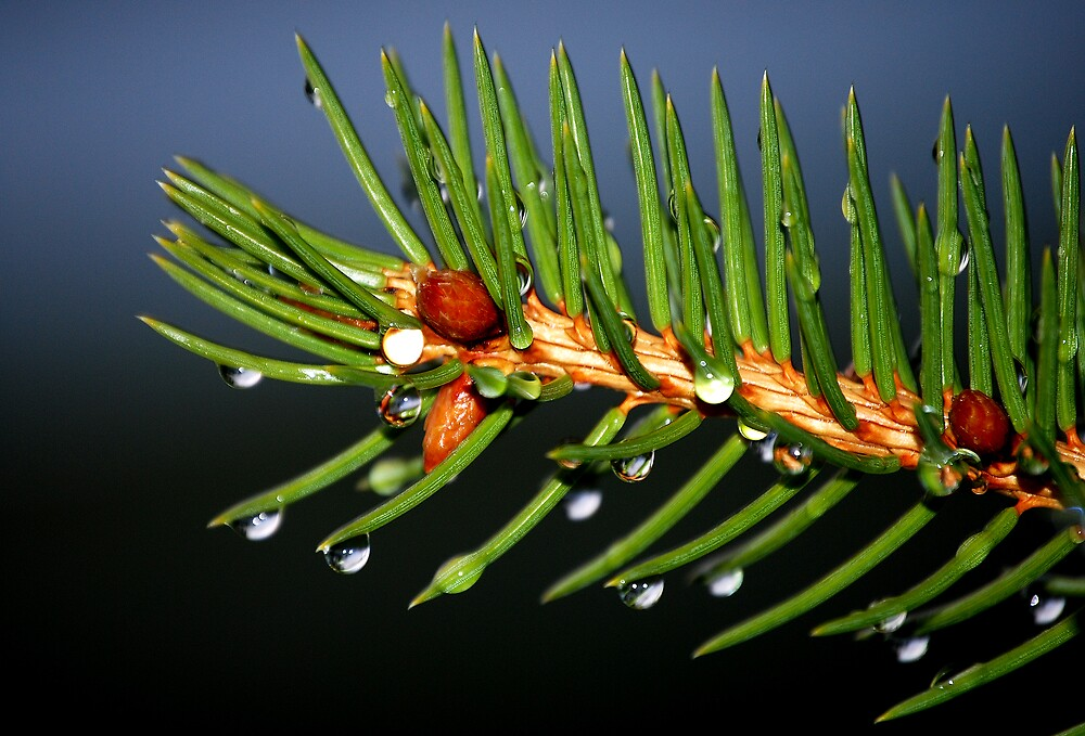 Pine Needles by Dan Goodman
