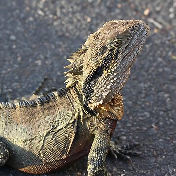 Eastern Water Dragon at Mt Coot-tha Botanic Gardens by PeterSam