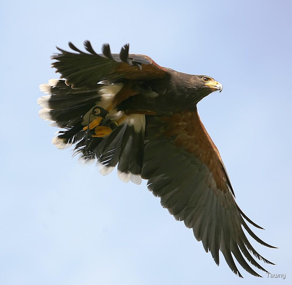 The Harris Hawk by Tawny
