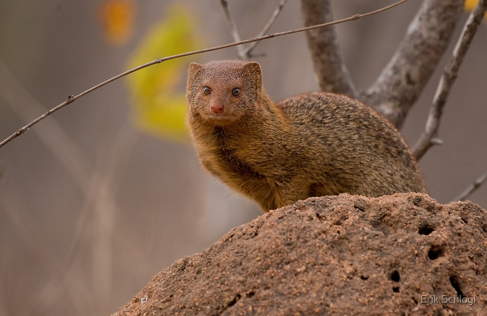 Dwarf mongoose, South Africa by Erik Schlogl