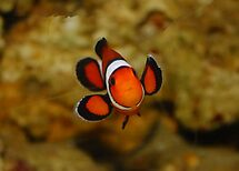 Little Wave from a Clown  Fish (Nemo) by AnnDixon