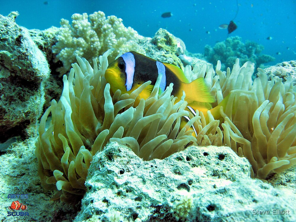 Clownfish Egypt by Steve  Elliott