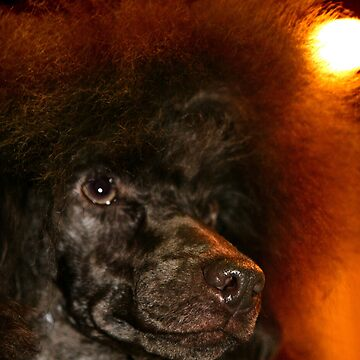 Red Poodle by skukucka