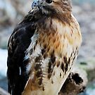 Red-tailed Hawk by Bill Miller