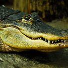 American Alligator by Bill Miller