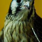 American Kestrel Falcon by Bill Miller