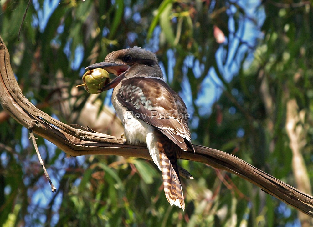 Young Kookaburra with apple by Bev Pascoe
