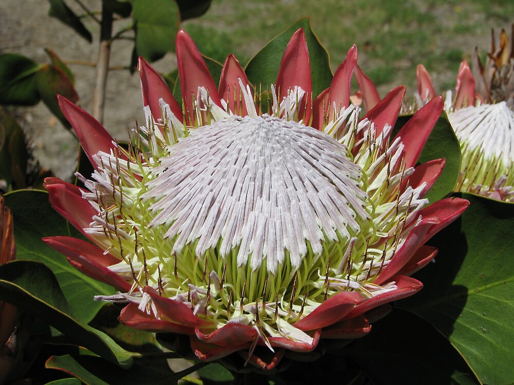 Protea cynaroides by Robert Jenner