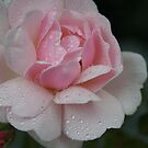 Frilly in Pink by picketty