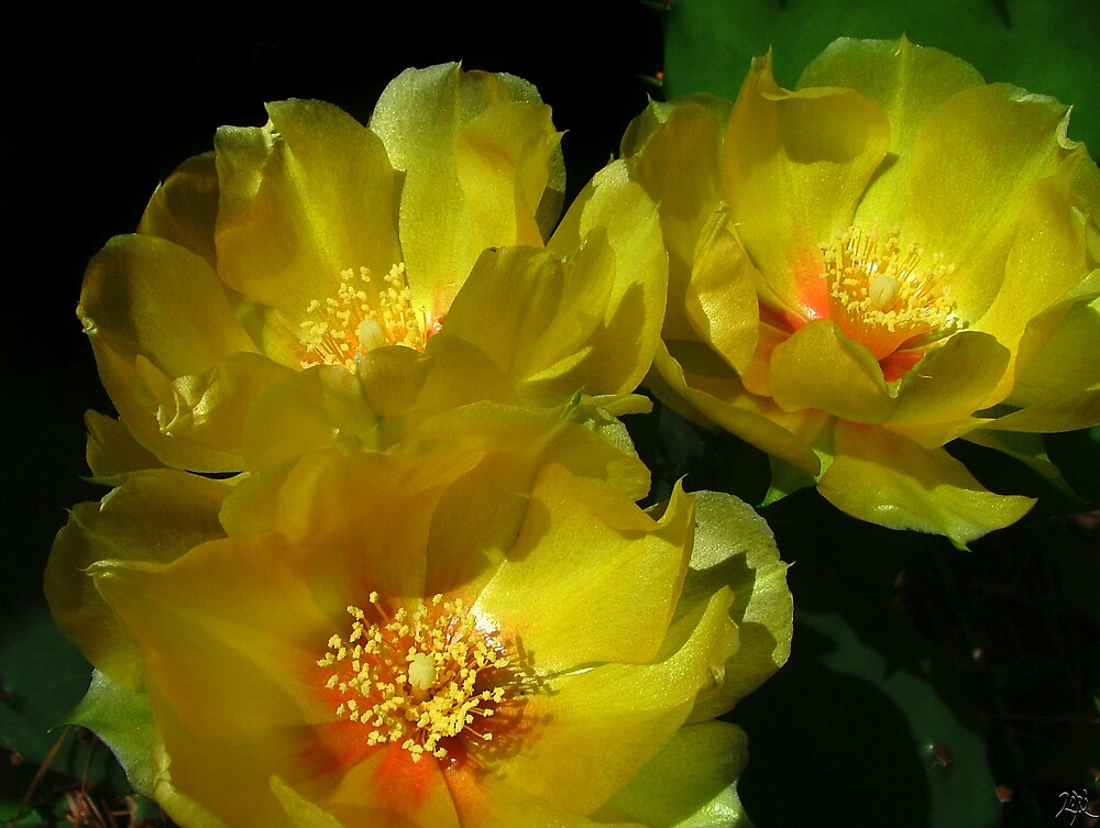 Prickly Pear Blooms by Lori Epperson