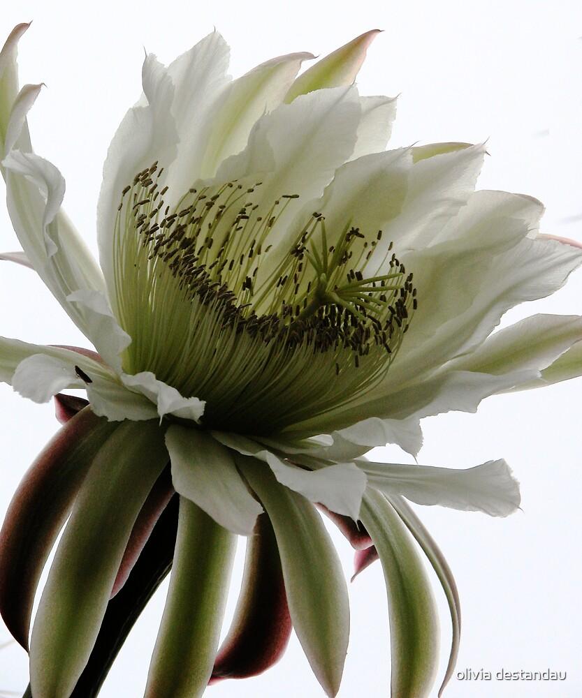 Cactus Flower by olivia destandau