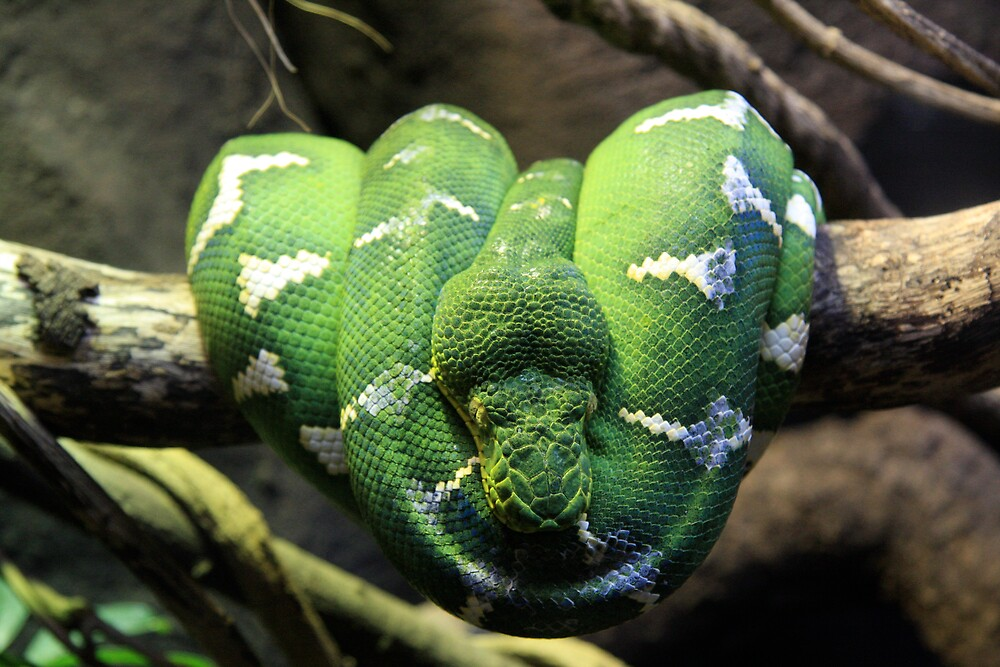 Emerald Tree Boa (Corallus caninus) by stjc