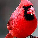 Northern Cardinal by Bill Miller