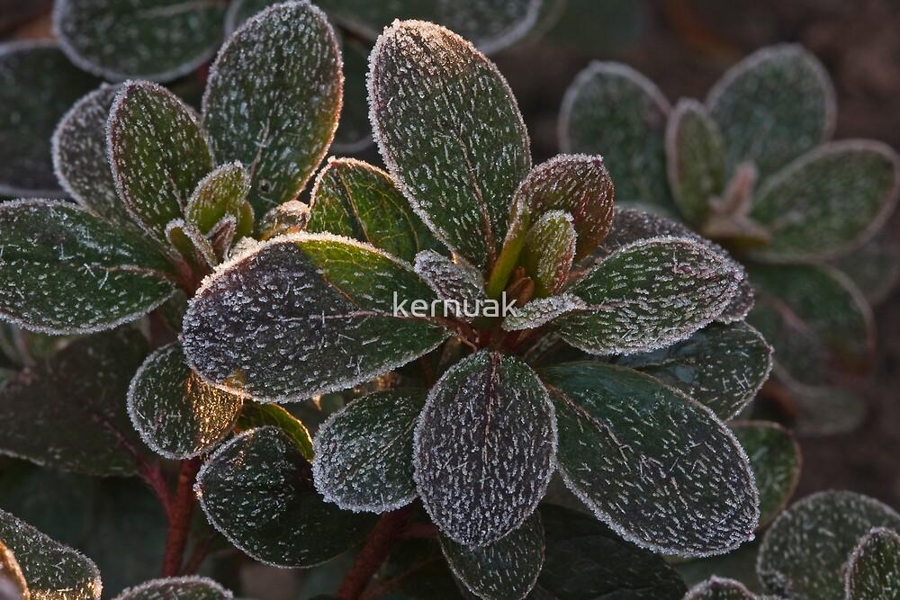 Azalea Frost by kernuak