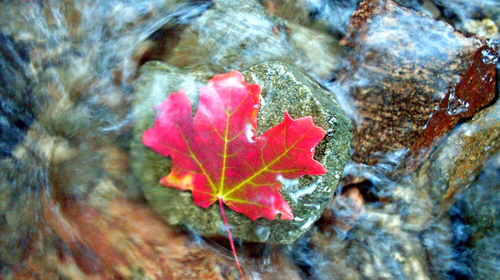 red leaf on a green rock in stream by Julie Gappmayer