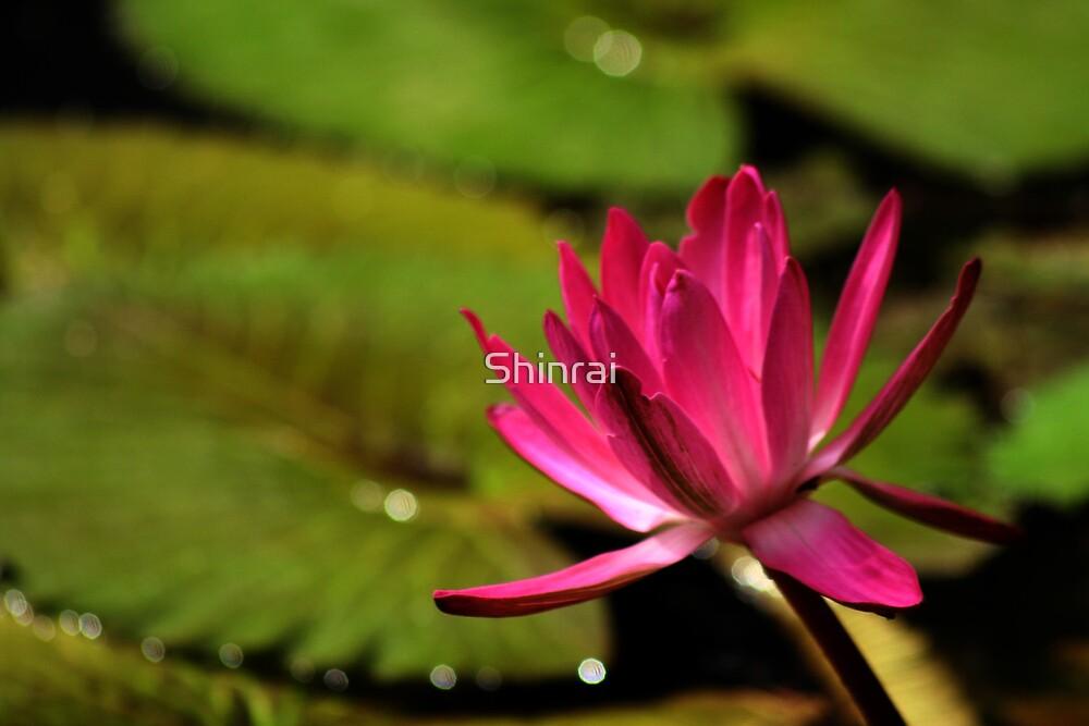 Lotus Blossom by Shinrai
