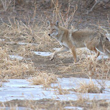 Quixotic Coyote by jayryser