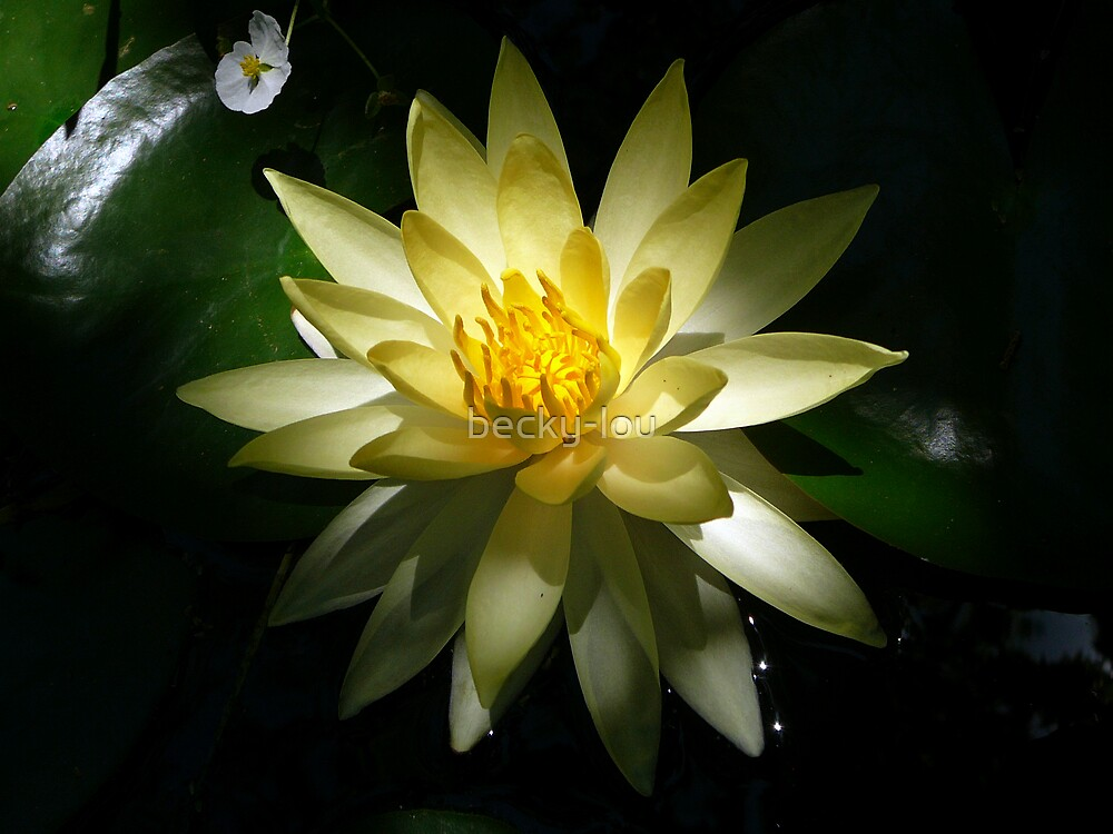 Lotus Bloom by becky-lou