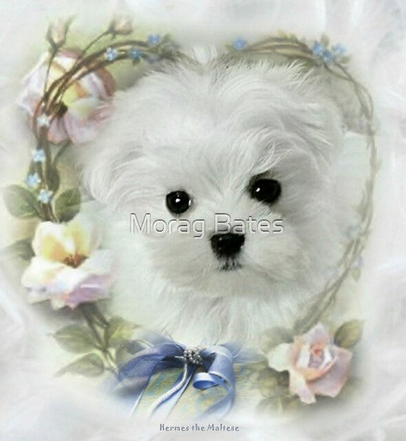 Hermes the Maltese Puppy by Morag Bates