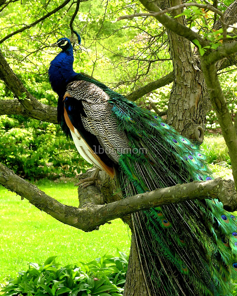 peacock in the tree by 1busymom