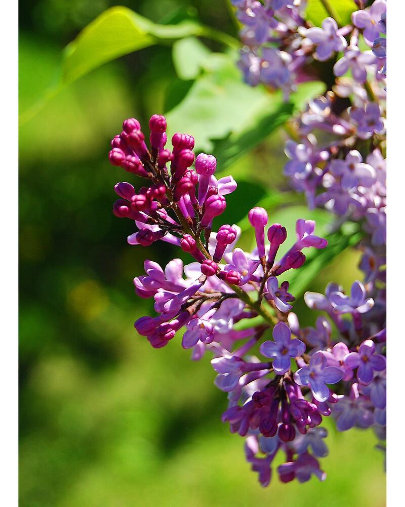 Spring Lilac by Dan Goodman