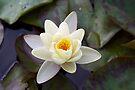 Water Lily II by Stephen Beattie