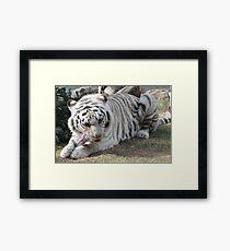 white tiger eating Framed Print