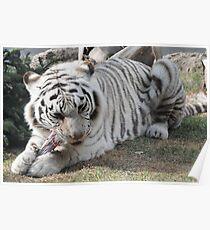 white tiger eating Poster