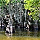 Striped Cypress & Spanish Moss by Lisa Taylor