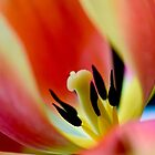 Heart of the Tulip by rrushton